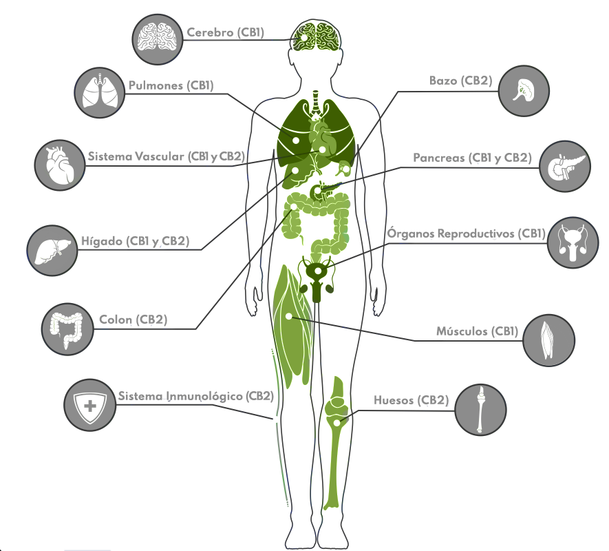 receptores endhttps://pubmed.ncbi.nlm.nih.gov/28249817/ocannabinoides