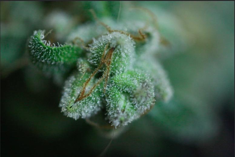 Cálices maduros de una planta hembra de cannabis