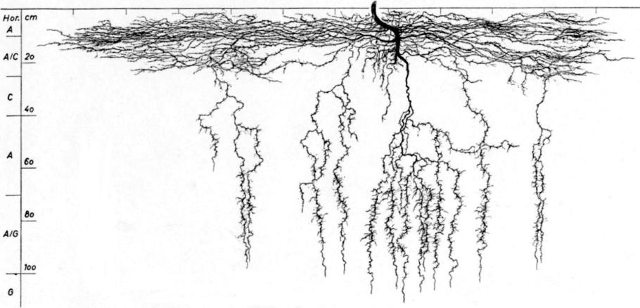 Sistema de raíces en blanco y negro
