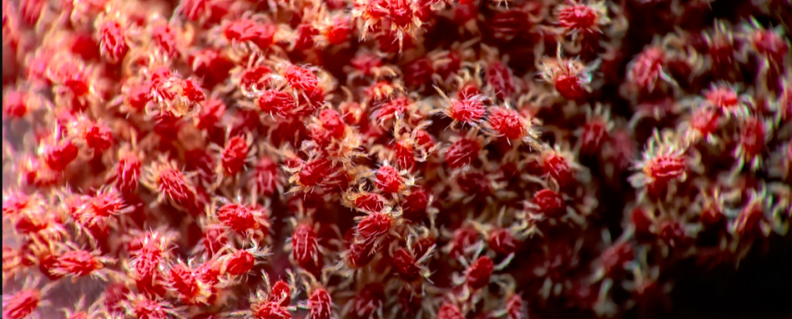 araña roja macro