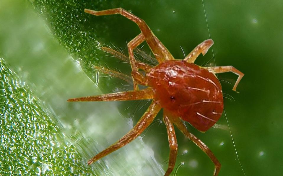 Araña roja en un zoom
