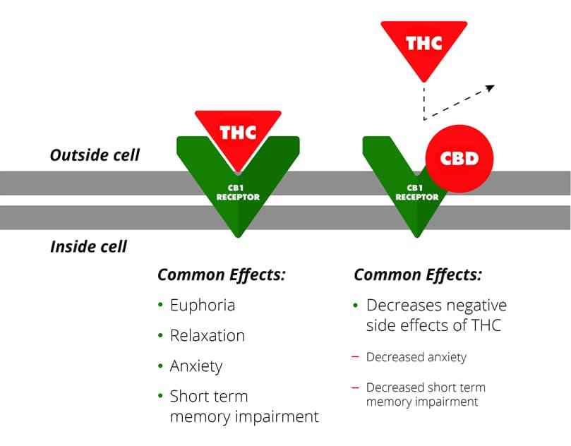Diagrama del CBD reduciendo la unión del CB1 con el THC. Fuente: Cannabisinsider