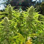 Cannabis en huboldt. HT