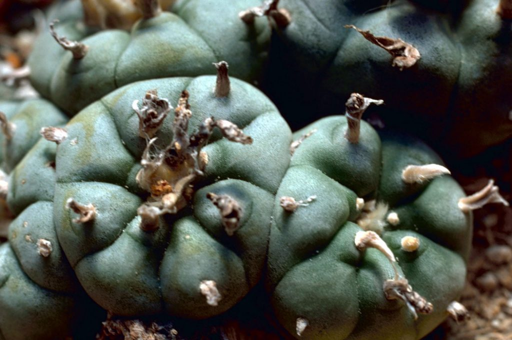 peyote by wikicommons